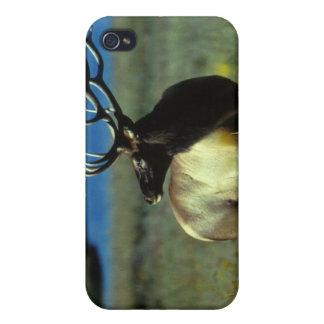 Alces de Bull del americano iPhone 4 Protectores