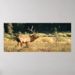 Alces de Bull en el parque nacional rocoso de Moun Impresiones