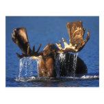 Alces de Bull en la charca de Alaska de la tundra Postal