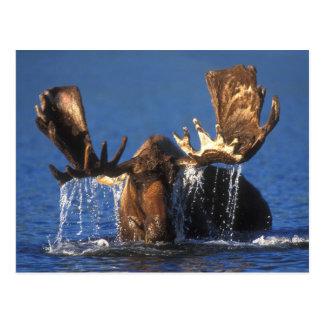Alces de Bull en la charca de Alaska de la tundra Tarjetas Postales