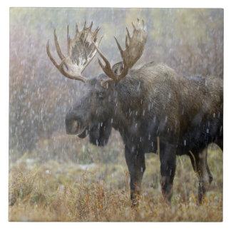 Alces de Bull en nevada con los árboles del álamo  Azulejo Cuadrado Grande