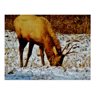 Alces de Bull en nieve Tarjeta Postal