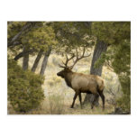 Alces de Bull, parque nacional de Yellowstone, Postales