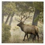 Alces de Bull, parque nacional de Yellowstone, Wyo Azulejo Cuadrado Grande