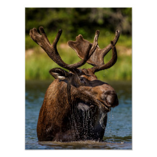 Alces de Bull que alimentan en Parque Nacional Póster