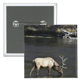 Alces de Bull que beben del río de Madison Pin
