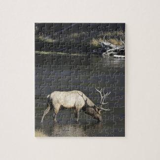 Alces de Bull que beben del río de Madison Rompecabeza Con Fotos