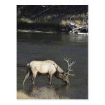 Alces de Bull que beben del río de Madison Tarjeta Postal