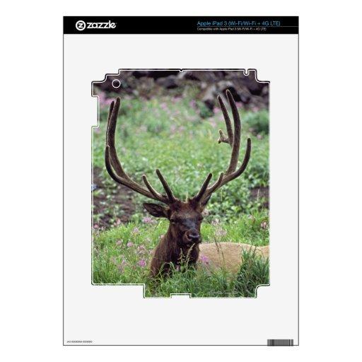 Alces de Bull que descansan en prado alpino con iPad 3 Pegatina Skin