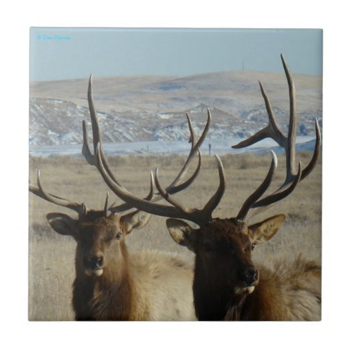 Alces de E0045 Bull Azulejo Cuadrado Pequeño