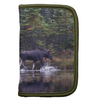 Alces de Maine Bull
