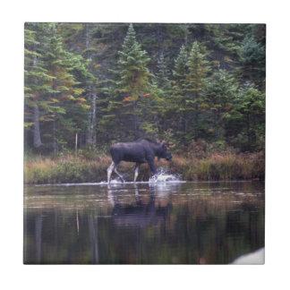 Alces de Maine Bull Teja