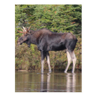 Alces de Maine Bull Postales
