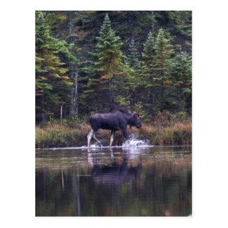 Alces de Maine Bull Tarjeta Postal