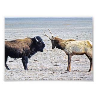 Alces del desafío contra búfalo arte con fotos