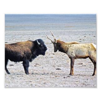 Alces del desafío contra el búfalo 8x10 fotografías