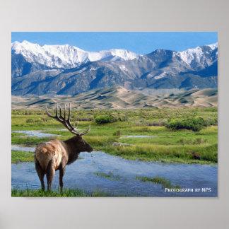 Alces en la gran impresión del parque nacional de  póster