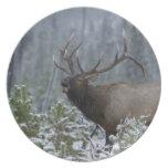 Alces en la llamada de la nieve, bugling, Yellowst Platos De Comidas