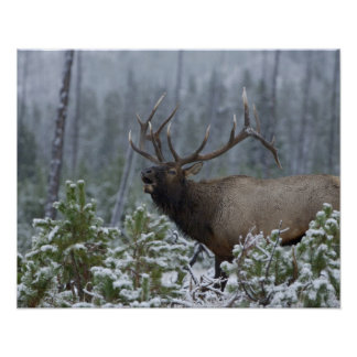 Alces en la llamada de la nieve, bugling, Yellowst Póster