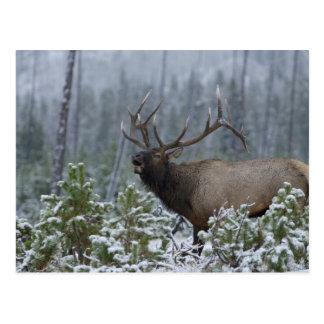 Alces en la llamada de la nieve, bugling, Yellowst Postales