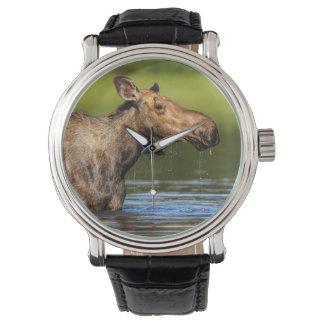 Alces femeninos que alimentan en el pequeño lago relojes de mano