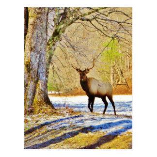 > alces frontales de Bull en nieve Tarjetas Postales