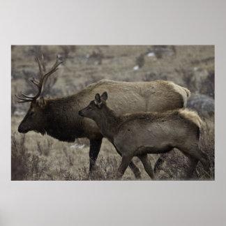 Alces y becerro de Bull Impresiones