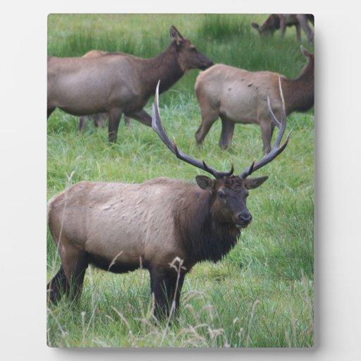 Alces y manada de Roosevelt Bull Placa De Plastico