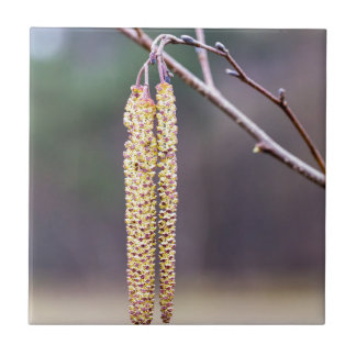 Alder twigs with yellow hanging catkins in spring tile