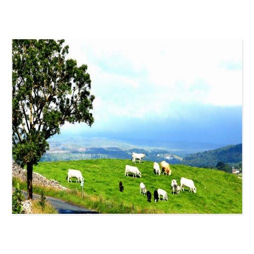 alegría de la paz del pasto del ganado postal