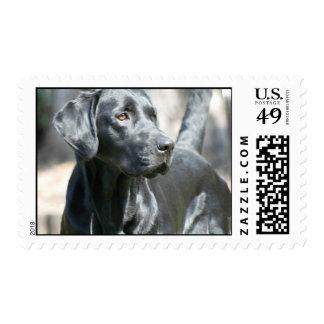 Alert Black Labrador Retriever Dog Postage Stamps