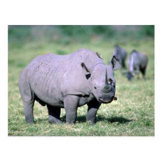 Alert Black Rhino Postcard