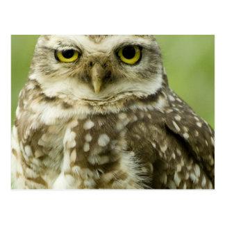 Alert Owl Postcard