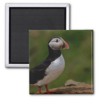 Alert Puffin Magnets