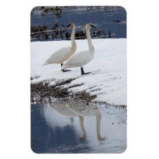 Alert Swans Magnet