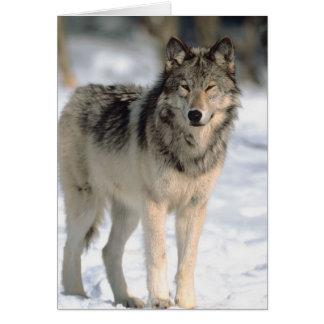 Alert Wolf Card