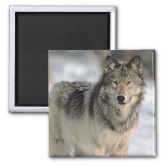 Alert Wolf Fridge Magnet