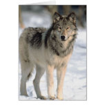 Alert Wolf Greeting Cards