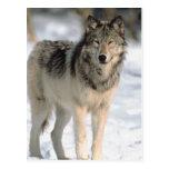 Alert Wolf Postcard