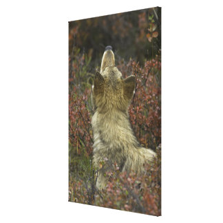Alert young Grey wolf (Canis lupus) sniffing Gallery Wrapped Canvas