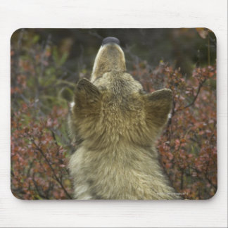 Alert young Grey wolf (Canis lupus) sniffing Mouse Pad