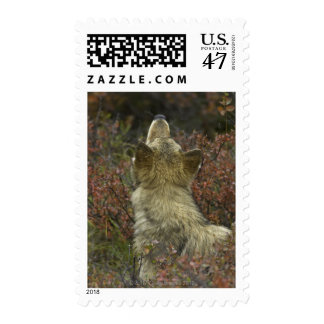Alert young Grey wolf (Canis lupus) sniffing Postage