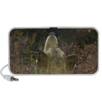 Alert young Grey wolf (Canis lupus) sniffing Speaker