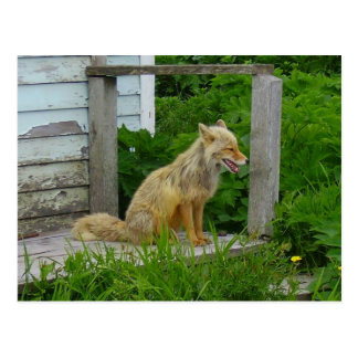 Aleutian Fox in Unalaska, Alaska Postcard