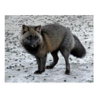 Aleutian Fox on Unalaska Island Postcard