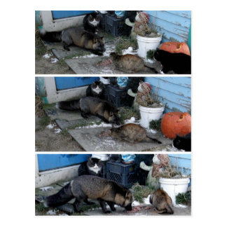 Aleutian Fox Stealing Catfood Post Cards