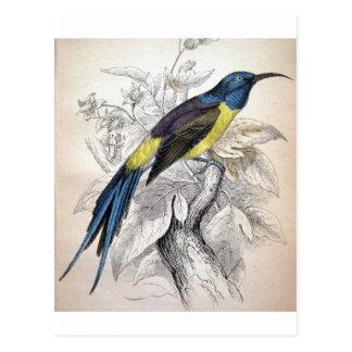 Alexander Wilson Bird Illustration Postcard