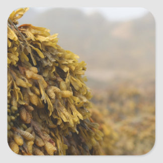 Alga marina del océano pegatina cuadrada