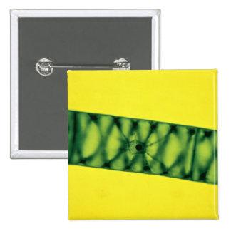 Algas verdes de Spirogyra Pin
