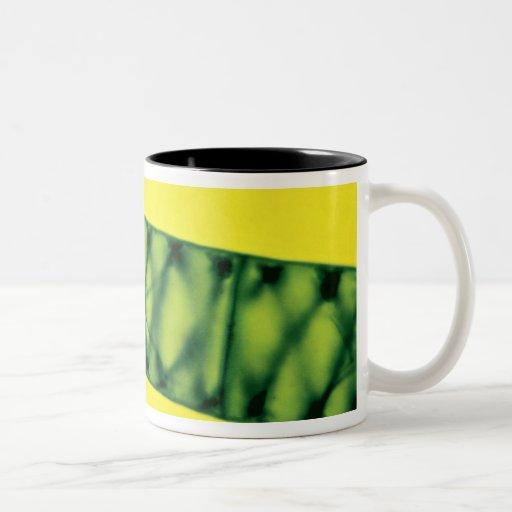 Algas verdes de Spirogyra Taza De Dos Tonos